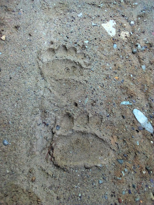 Bear tracks by bryandkeith on flickr