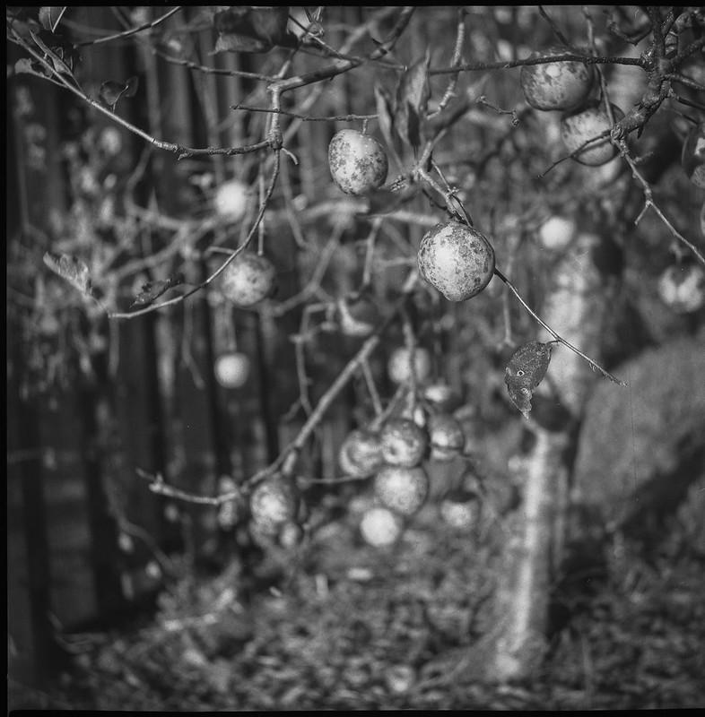 autumn apples, tree, wooden fence, Craggy Avenue, Asheville, NC, Yashica D, Fomapan 200, HC-110 developer, 9.4.21