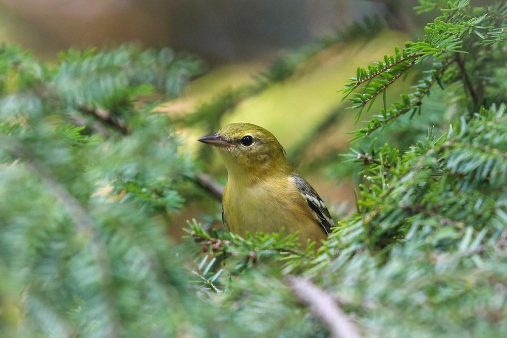 Bay-Breasted Warbler?