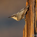 The Last Rays Of A Setting Sun Touch A Perched Pygmy Nuthatch