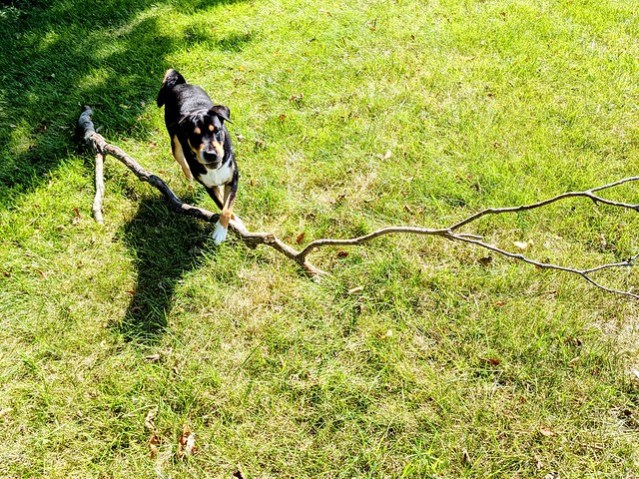 Charlie with a dead branch three times as long as she is.