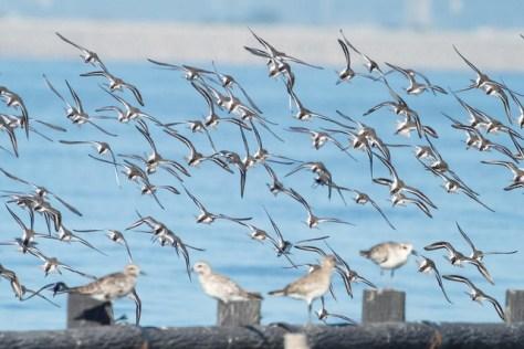 ハマシギの飛翔 Dunlin flight