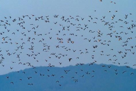 ダイゼンとハマシギの飛翔