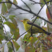 The Not-So-Scarlet Scarlet Tanager