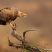 While Perched A Palm-nut Vulture Calls Out