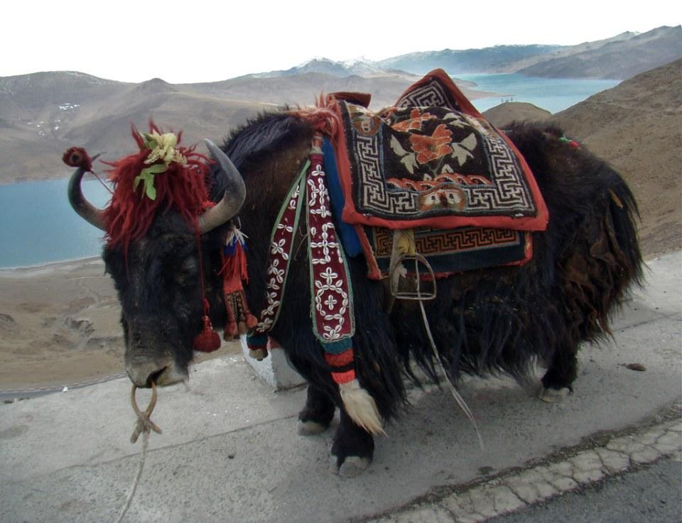 Yak fauna Lago Yamdrok o Yamḍok Yumtso del Tíbet China 12
