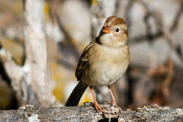 Birds - Field Sparrow by Laurie Sheppard