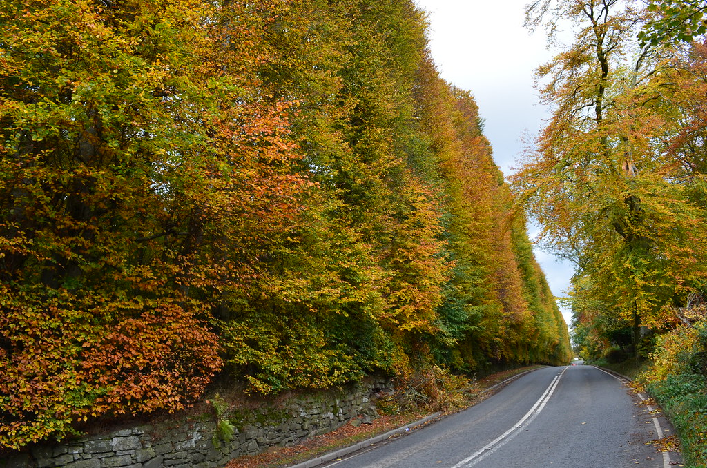 Tour Scotland Photograph Autumn Meikleour Beech Hedge Perthshire October 27th