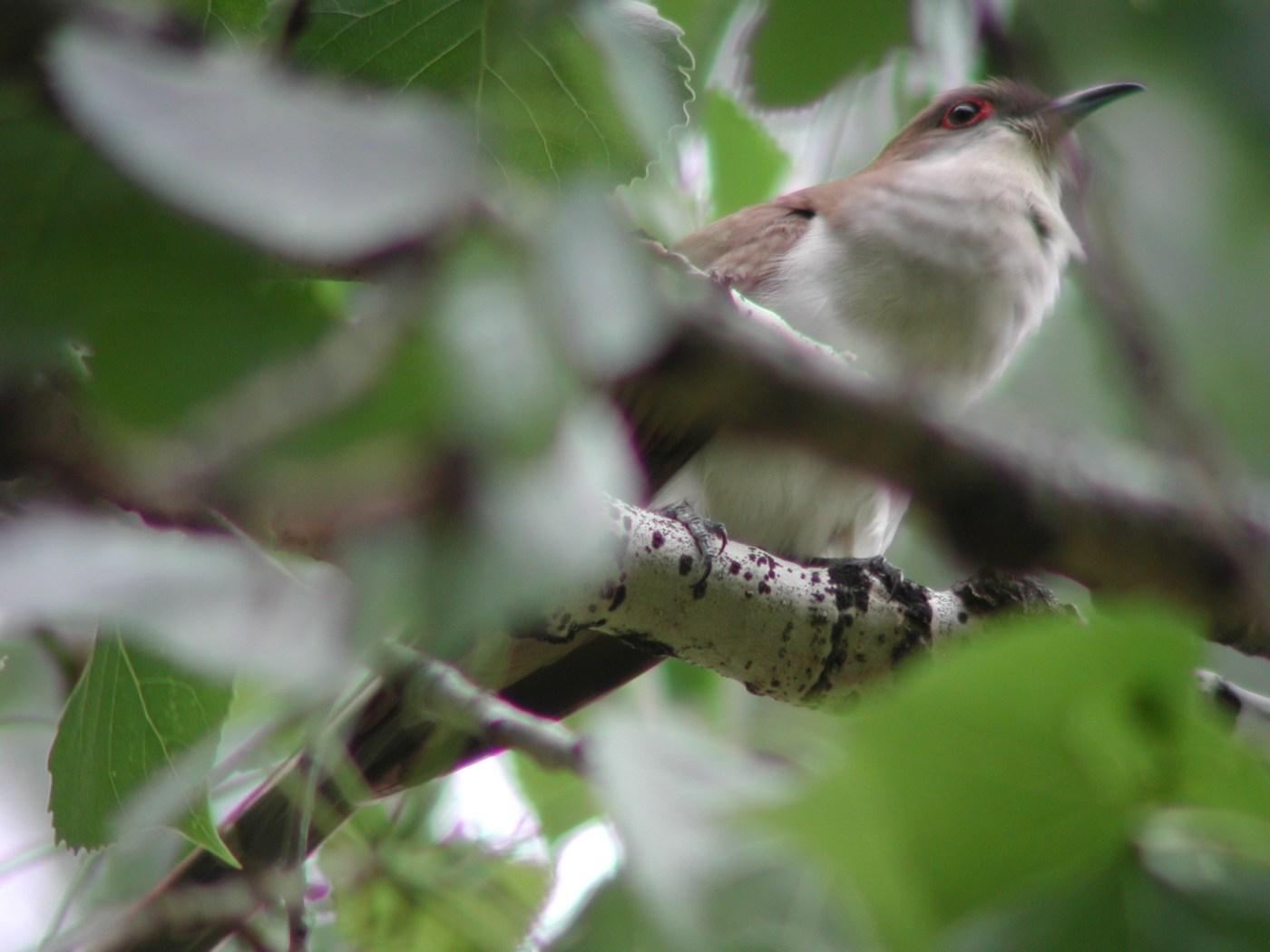 Black-billed Cuckoo, Miles City, MT, June 3, 2002