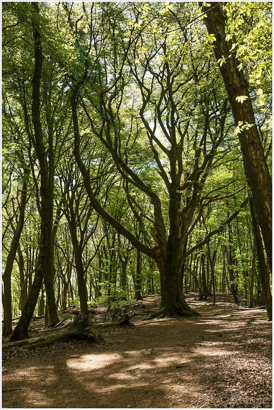 old tree (HP010861)