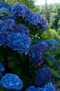 deep dark blue hydrangea wedding flowers
