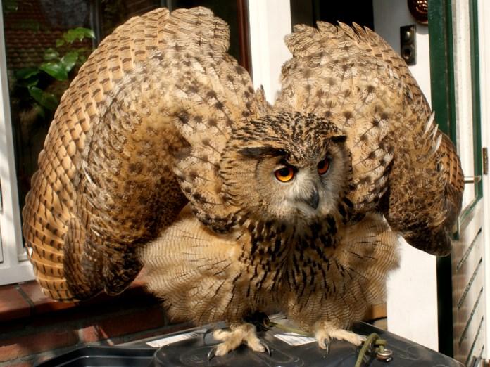 Eurasian Eagle-owl in threat posture