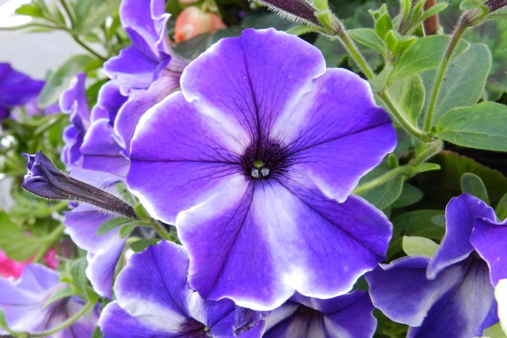 Flores Belfast Ulster Irlanda del Norte 04