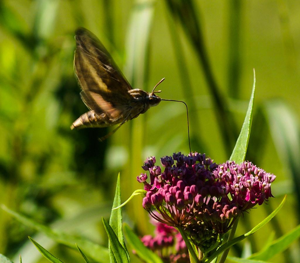 Bug Looks Hummingbird
