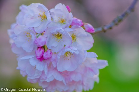 White & Pink Cherry Blossoms