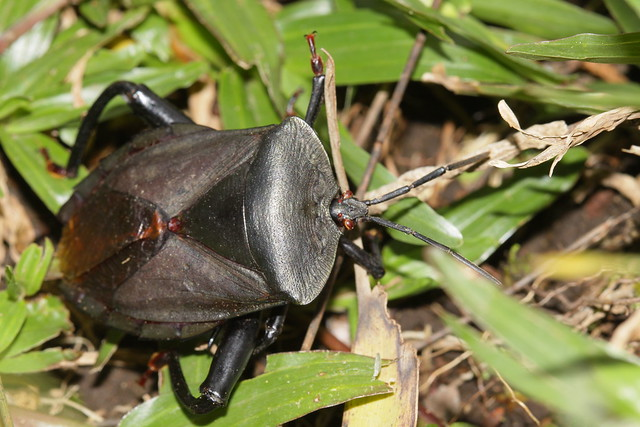 Black Giant Shield Bug from Central Java