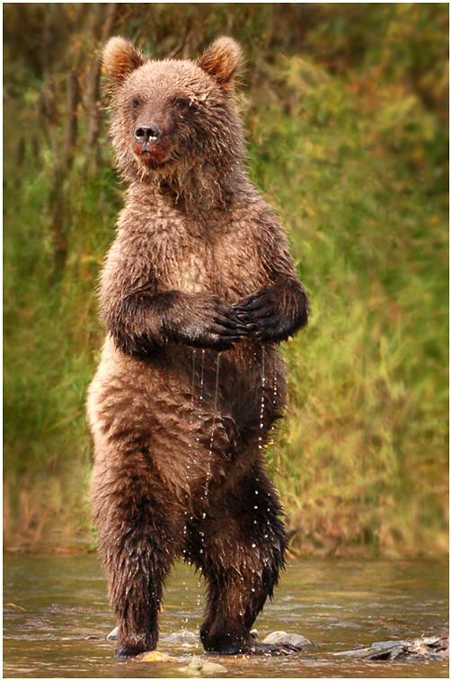 Katmai Brown Bear Cub on Alert