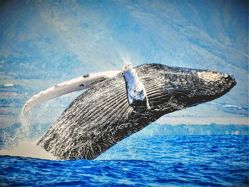 Maui ultimate whale watch