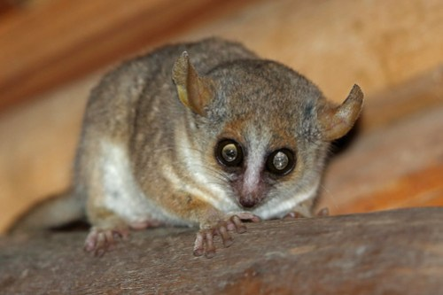 Grey-brown Mouse Lemur, Ifaty, Madagascar