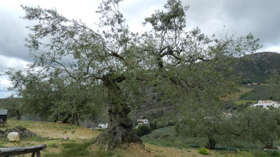 Periana arbol olivo milenario aldea Baños de Vilo Malaga 11