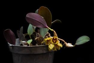 Bulbophyllum dayanum [14/4/2014]-[2]