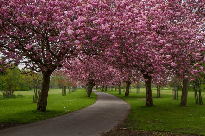 In April, Cherry Blossoms bloom in Germany