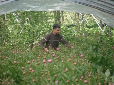 Harvesting Peonies