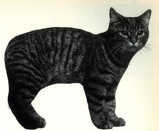 ลักษณะและรูปร่างโดยรวมของแมวแมงซ์