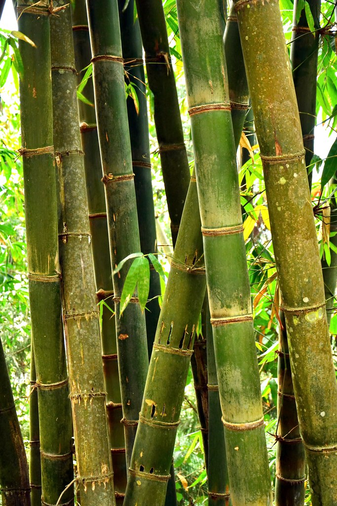 Where Can I Buy Bamboo Plants