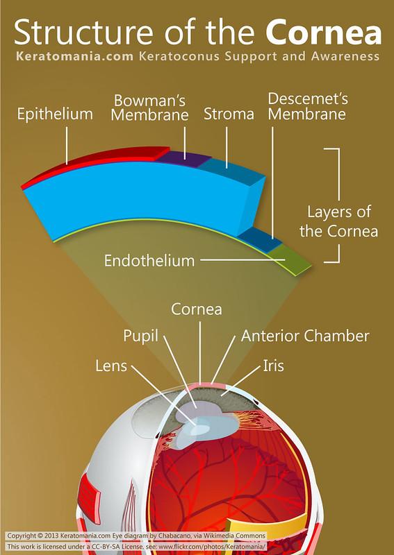Structure of the Cornea