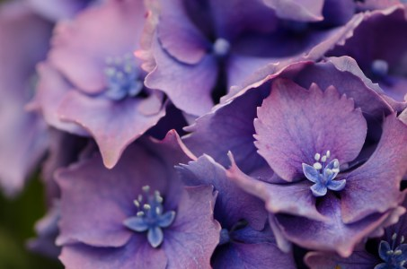 lavender hydrangea wedding