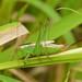 Short-winged Meadow Katydid Rock Dunder 2013-08-30