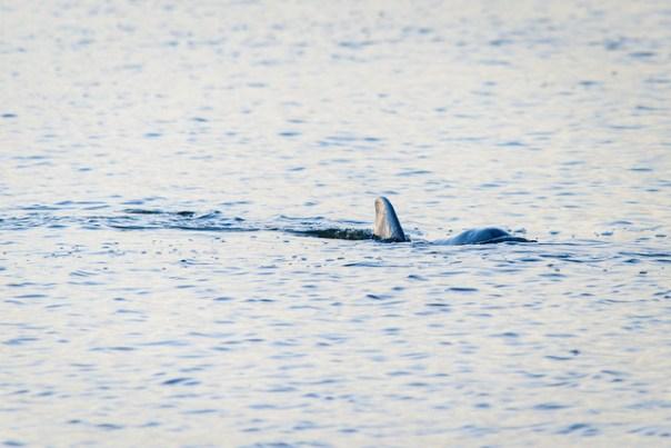 Fishing Dolphin
