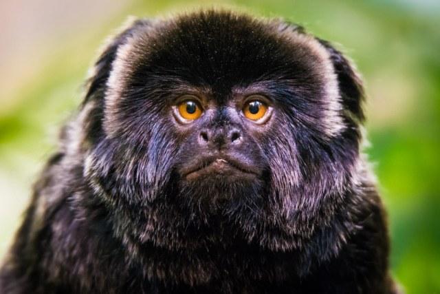 Goeldi's marmoset