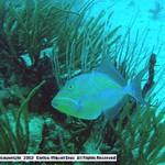 Reeffish vol1.01 (3)