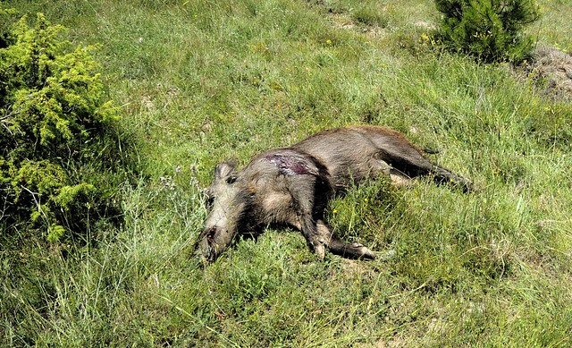 One of five dead pigs I saw near the hunters by bryandkeith on flickr