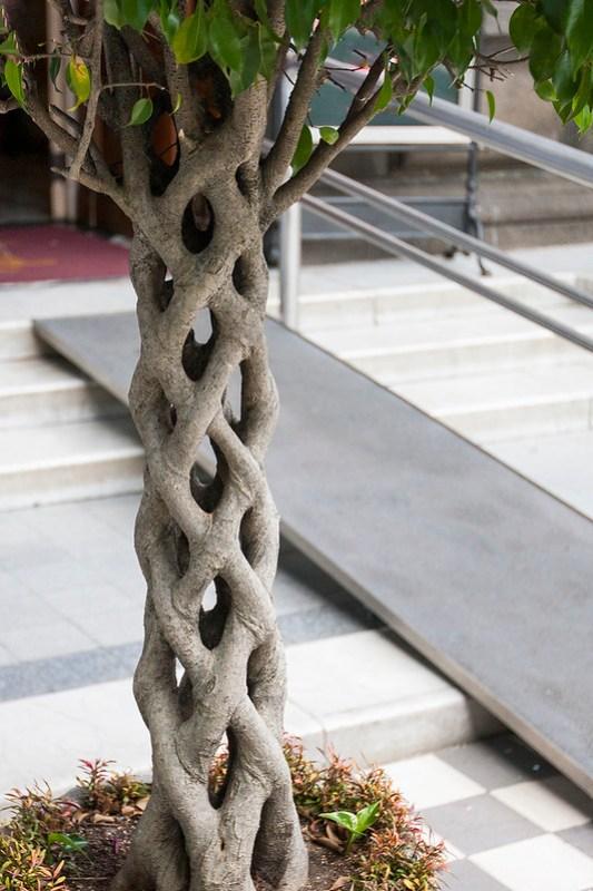 Woven Tree Trunk - Ficus aurea