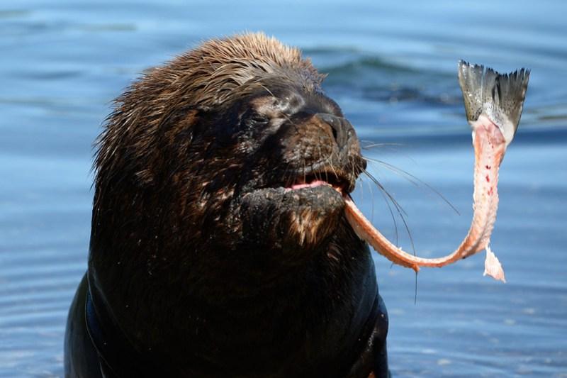 Sea lion biting salmon bones