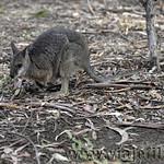 Viajefilos en Australia. Kangaroo 20