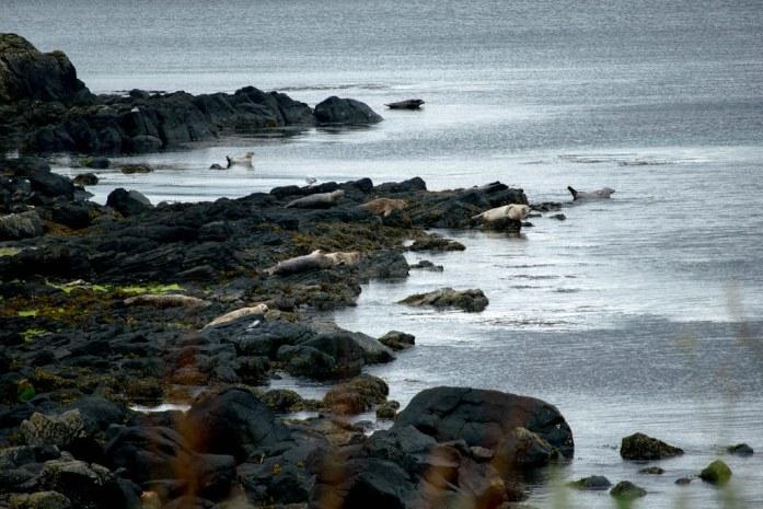 Colonia de focas sobre rocas negras