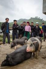 Selling pigs
