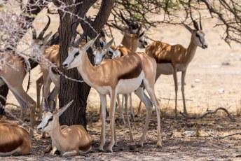 Deze antilopen kunnen jaren overleven zonder water door sappige planten te eten.