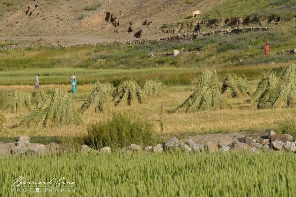 Femmes travaillant dans les champs, Zood Khun, Vallée Chapursan © Bernard Grua