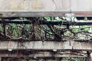 Tongliang Great Banyan (通梁古榕), Penghu