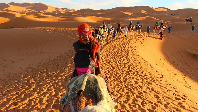 4988 Pilgrims will soon travel from Makkah to Madinah on camel backs 00