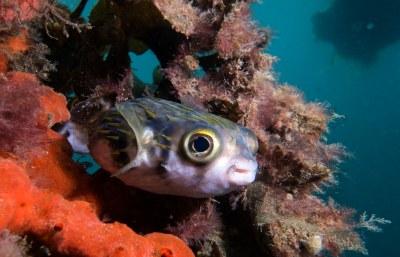 Diodon nicthemerus - Globefish #marineexplorer