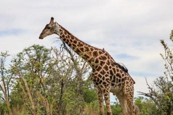 We gingen op weg naar dead tree island, toen we een trosje giraffes tegen kwamen.
