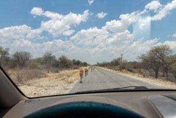 Het is wel een beetje een Disney safari in Etosha met asfaltwegen en tamme beesten.