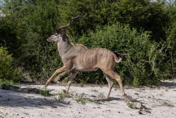 Even later liep er weer zo'n heerlijke Kudu door de zoeker van mijn camera.