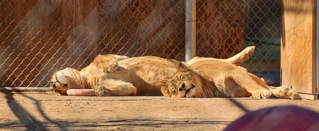USA - Nevada - Henderson - Lion Habitat Ranch